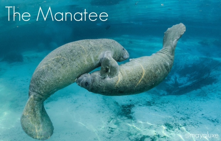 Calves Engage In Frisky Manatee Play